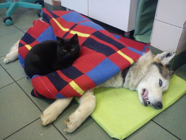 gatto-infermiere-veterninario-abbraccia-animali-malati-radamenes-5
