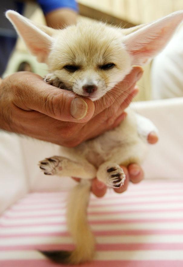 graziosi-cuccioli-animali-palmo-della-mano-08