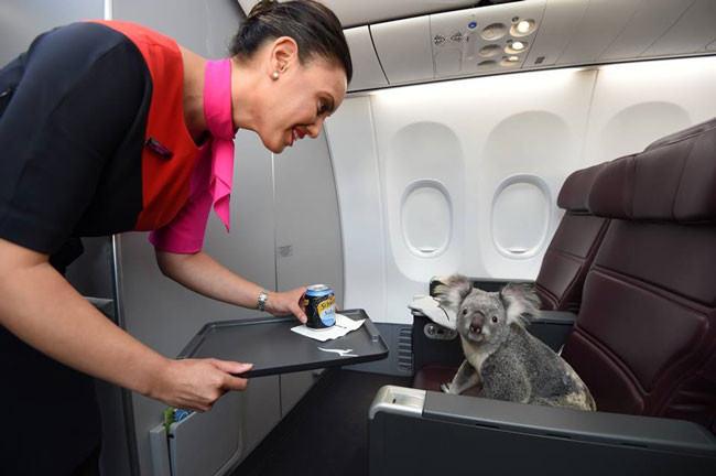quattro-koala-aereo-volano-prima-classe-singapore-1