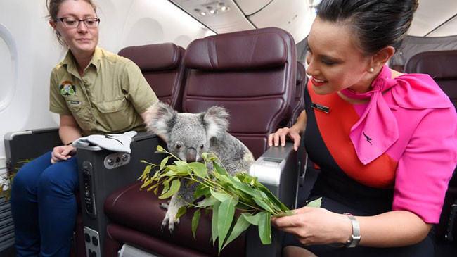 quattro-koala-aereo-volano-prima-classe-singapore-3