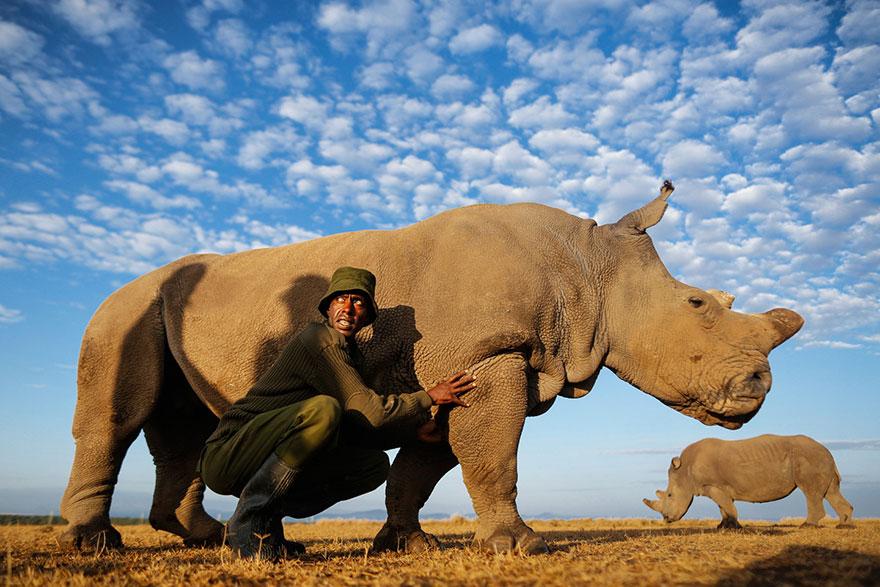ultimo-rinoceronte-bianco-del-nord-estinzione-riserva-ranger-kenya-03