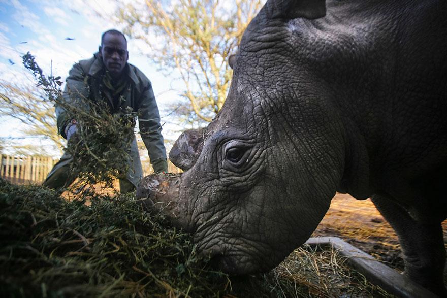 ultimo-rinoceronte-bianco-del-nord-estinzione-riserva-ranger-kenya-04