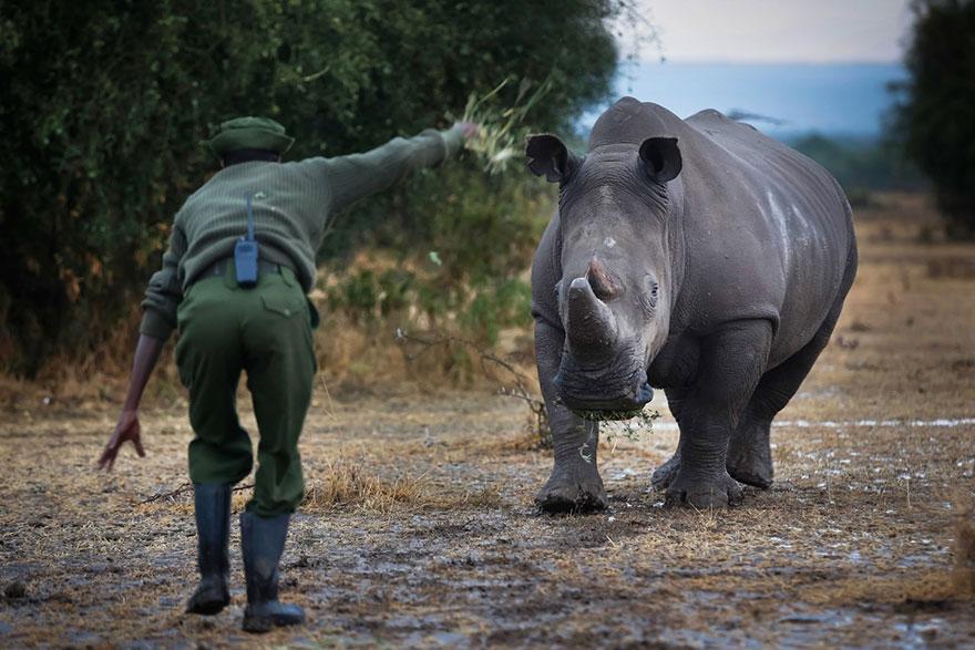 ultimo-rinoceronte-bianco-del-nord-estinzione-riserva-ranger-kenya-07