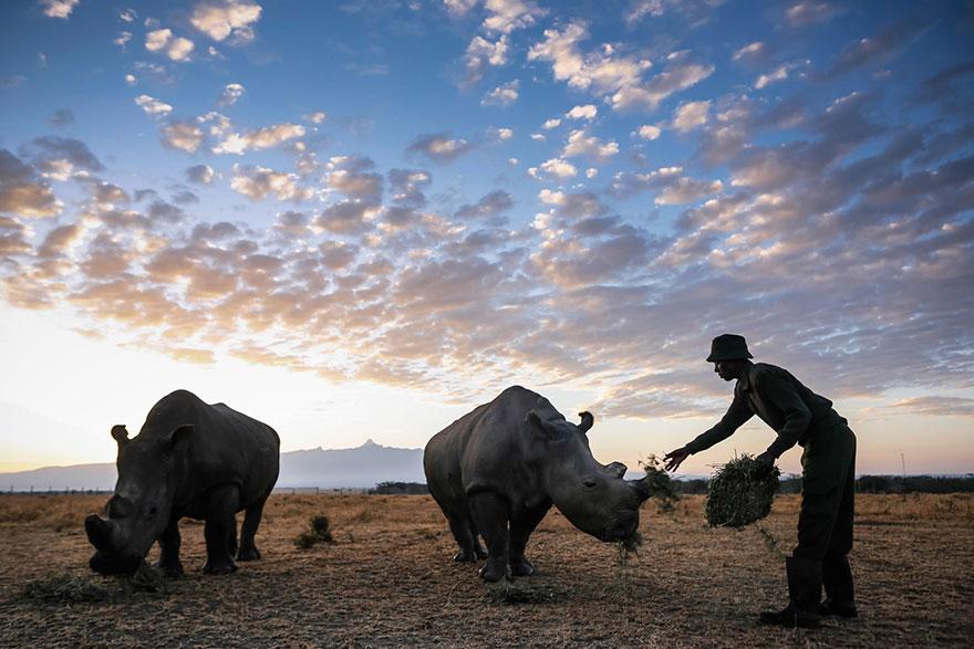 ultimo-rinoceronte-bianco-del-nord-estinzione-riserva-ranger-kenya-09