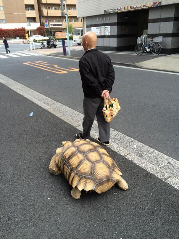uomo-anziano-porta-a-passeggio-tartaruga-gigante-tokyo-2