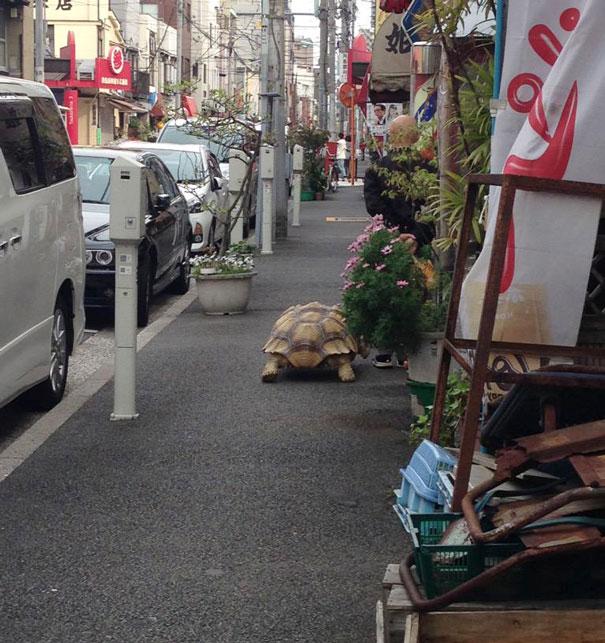 uomo-anziano-porta-a-passeggio-tartaruga-gigante-tokyo-4