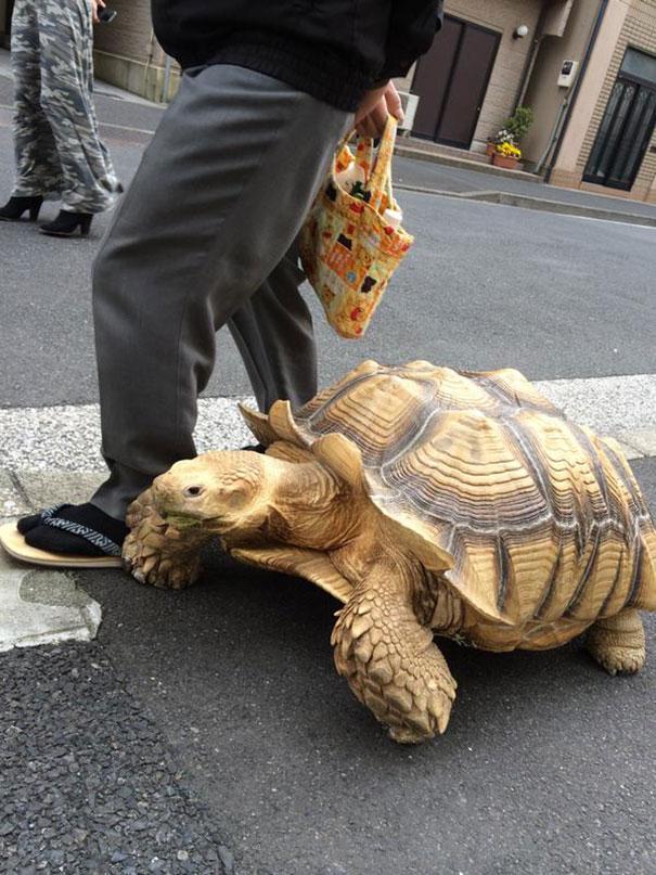 uomo-anziano-porta-a-passeggio-tartaruga-gigante-tokyo-5
