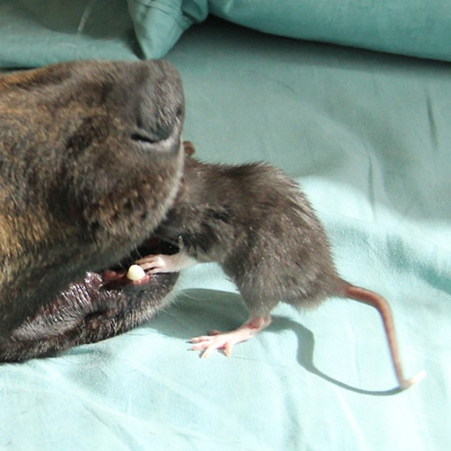amicizia-animali-diversi-cane-topo-osiris-riff-rat-04
