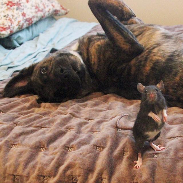 amicizia-animali-diversi-cane-topo-osiris-riff-rat-07