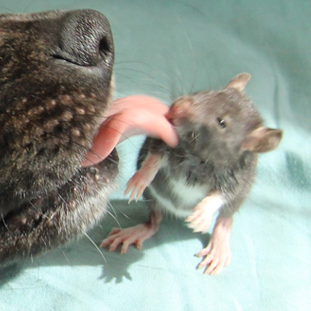 amicizia-animali-diversi-cane-topo-osiris-riff-rat-10