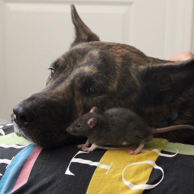 amicizia-animali-diversi-cane-topo-osiris-riff-rat-13