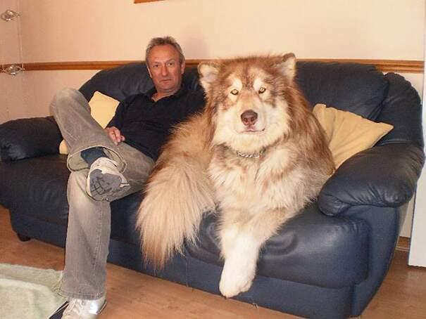 Cani grandi, enormi e giganti
