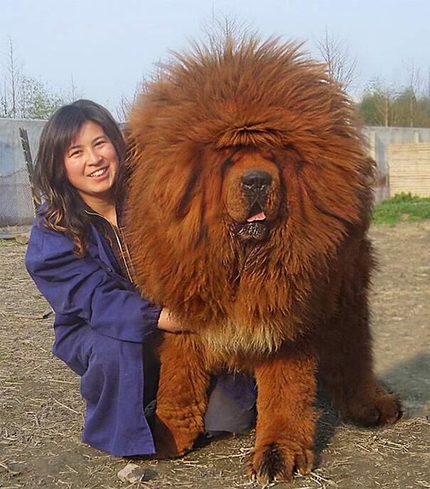 cani-enormi-giganti-taglia-grande-13