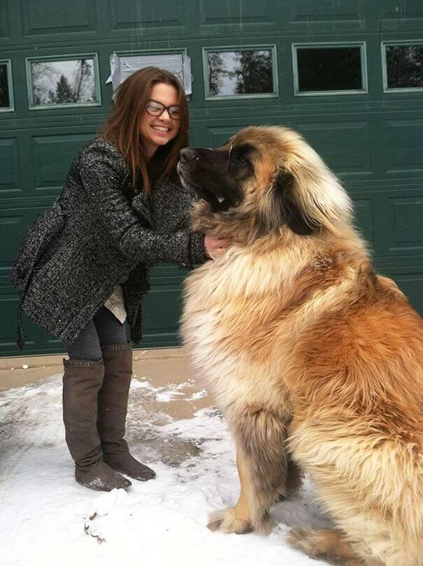 cani-enormi-giganti-taglia-grande-22