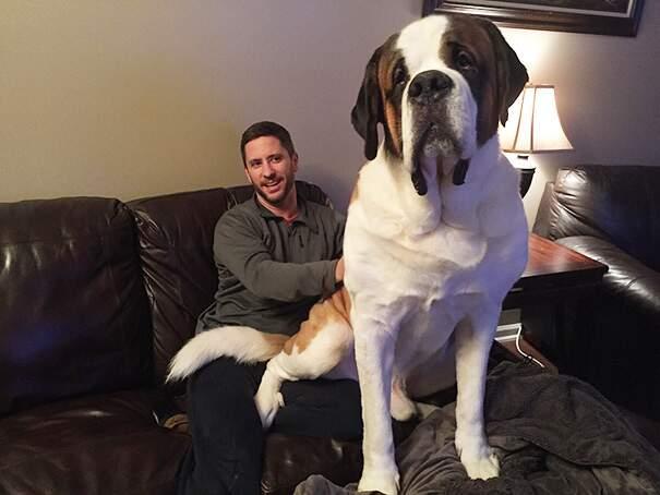 cani-enormi-giganti-taglia-grande-27