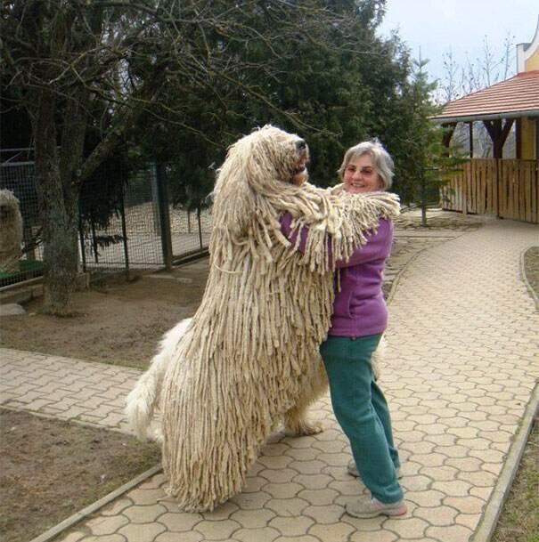 cani-enormi-giganti-taglia-grande-39
