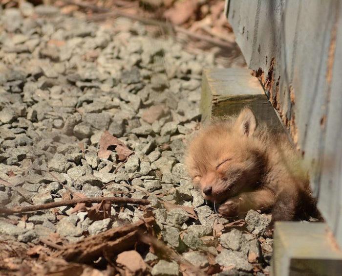 cuccioli-di-volpe-giardino-casa-wang-01