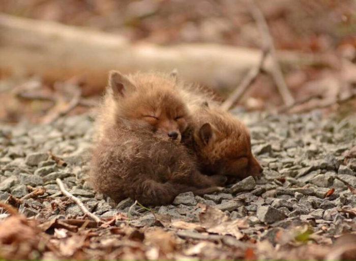 cuccioli-di-volpe-giardino-casa-wang-03