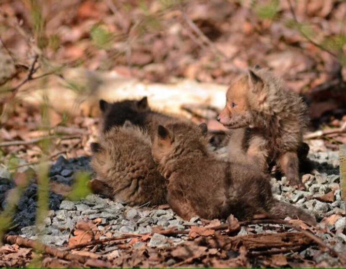 cuccioli-di-volpe-giardino-casa-wang-04