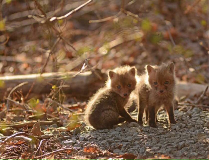 cuccioli-di-volpe-giardino-casa-wang-07