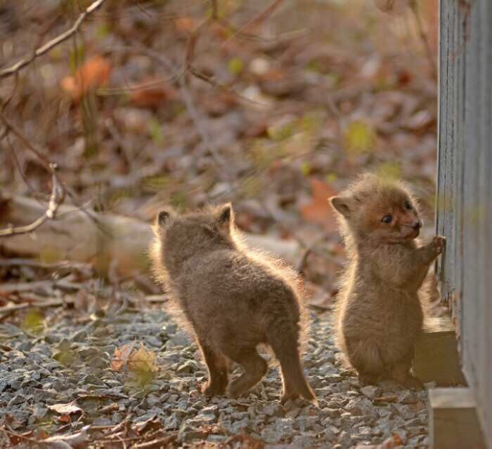 cuccioli-di-volpe-giardino-casa-wang-10