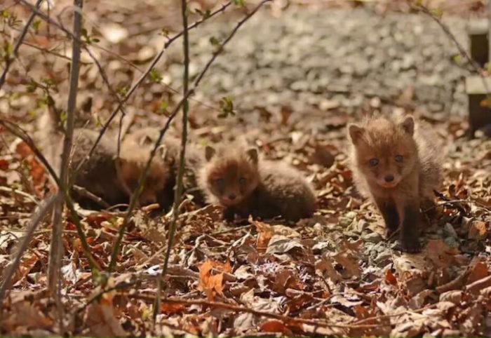 cuccioli-di-volpe-giardino-casa-wang-11