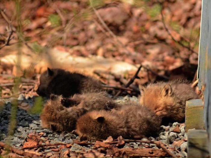 cuccioli-di-volpe-giardino-casa-wang-12