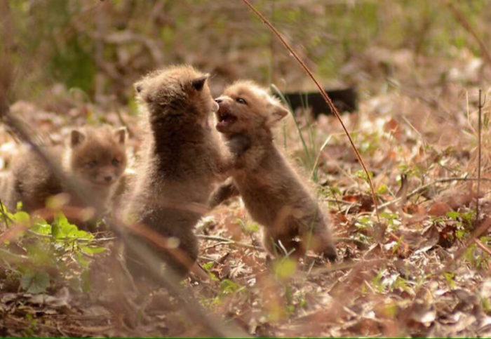 cuccioli-di-volpe-giardino-casa-wang-13