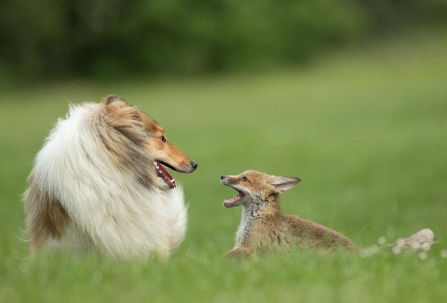 cucciolo-di-volpe-orfano-adottato-da-cane-ziva-dinozzo-germania-03