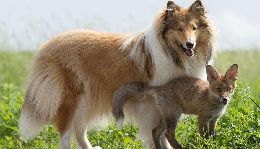 cucciolo-di-volpe-orfano-adottato-da-cane-ziva-dinozzo-germania-06