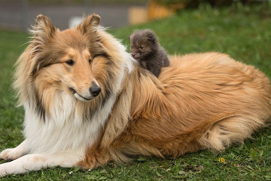 cucciolo-di-volpe-orfano-adottato-da-cane-ziva-dinozzo-germania-07