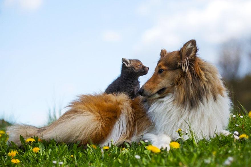 cucciolo-di-volpe-orfano-adottato-da-cane-ziva-dinozzo-germania-08