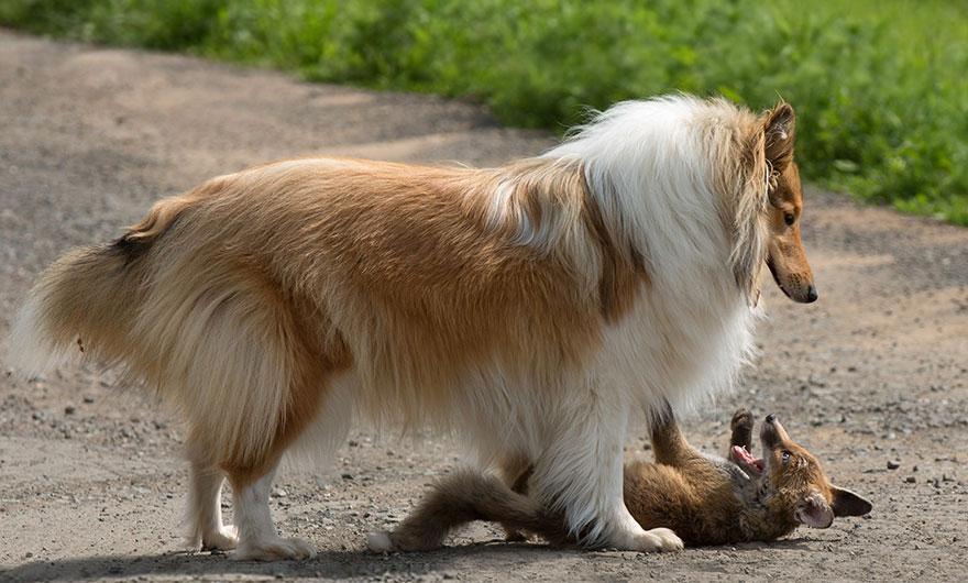 cucciolo-di-volpe-orfano-adottato-da-cane-ziva-dinozzo-germania-09