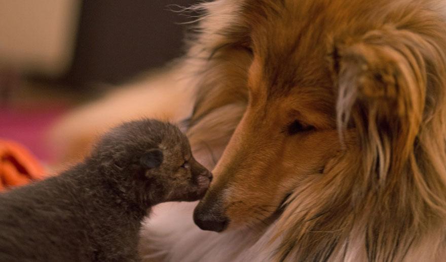 cucciolo-di-volpe-orfano-adottato-da-cane-ziva-dinozzo-germania-10