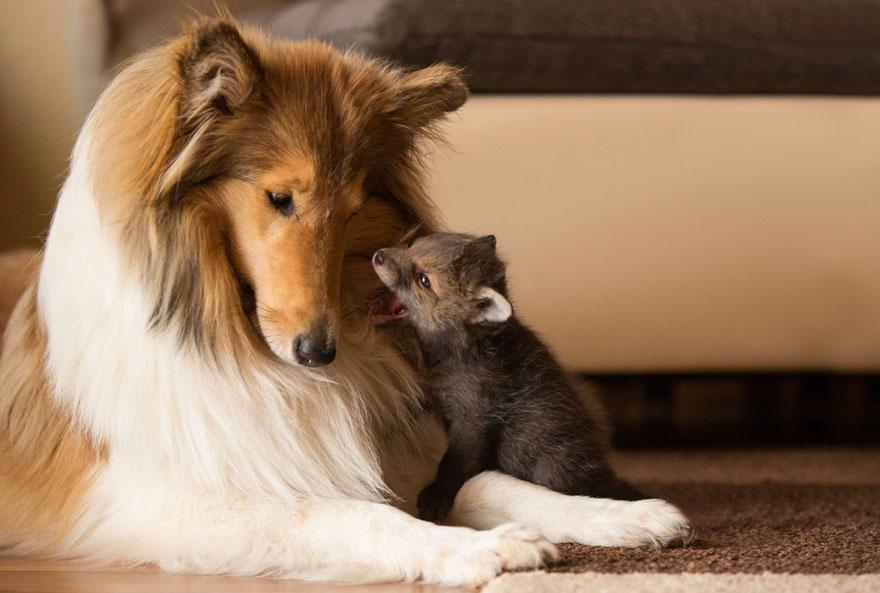 cucciolo-di-volpe-orfano-adottato-da-cane-ziva-dinozzo-germania-11