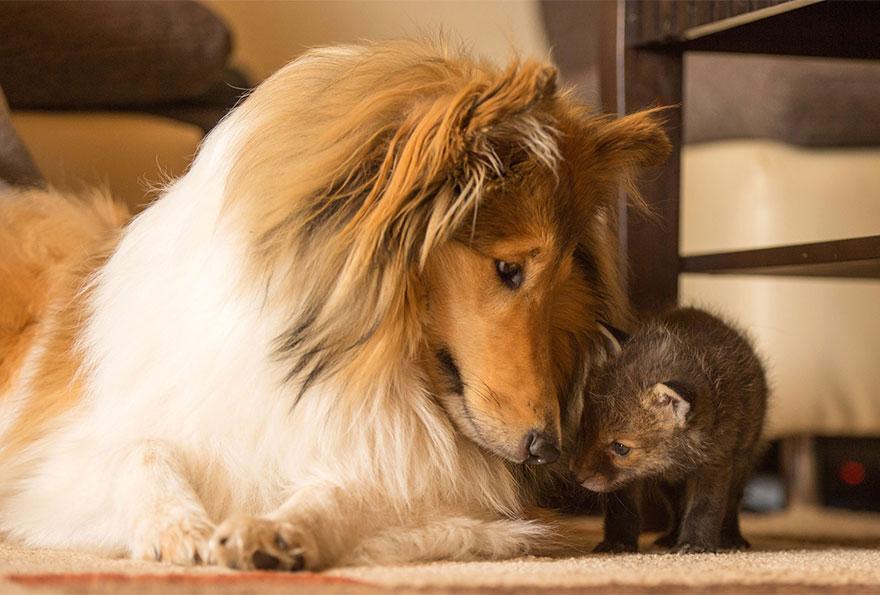 cucciolo-di-volpe-orfano-adottato-da-cane-ziva-dinozzo-germania-12