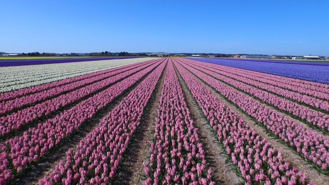 drone-video-campi-fiori-olanda-paesi-bassi