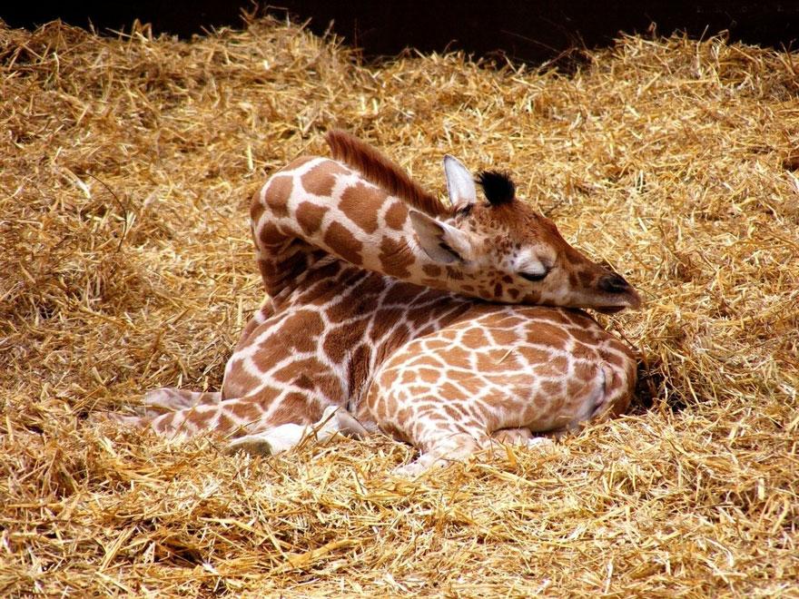 giraffe-che-dormono-01