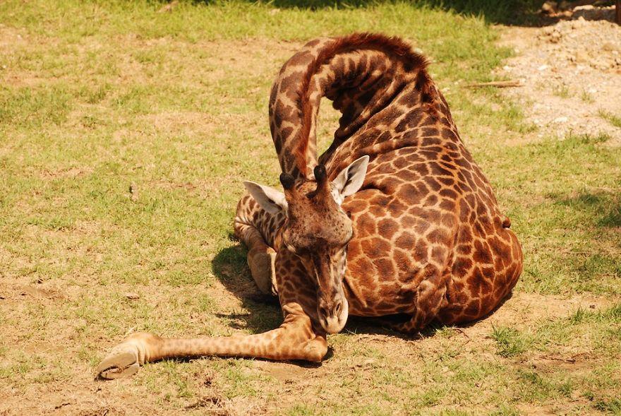 giraffe-che-dormono-02