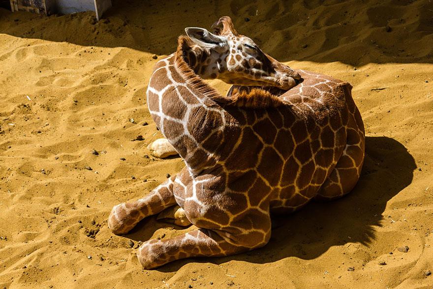 giraffe-che-dormono-03