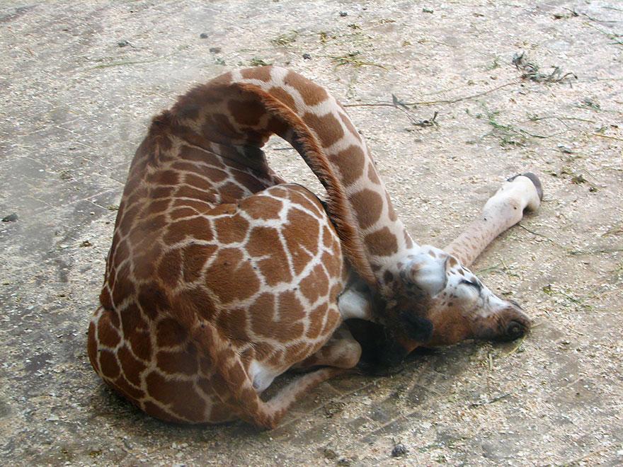 giraffe-che-dormono-05