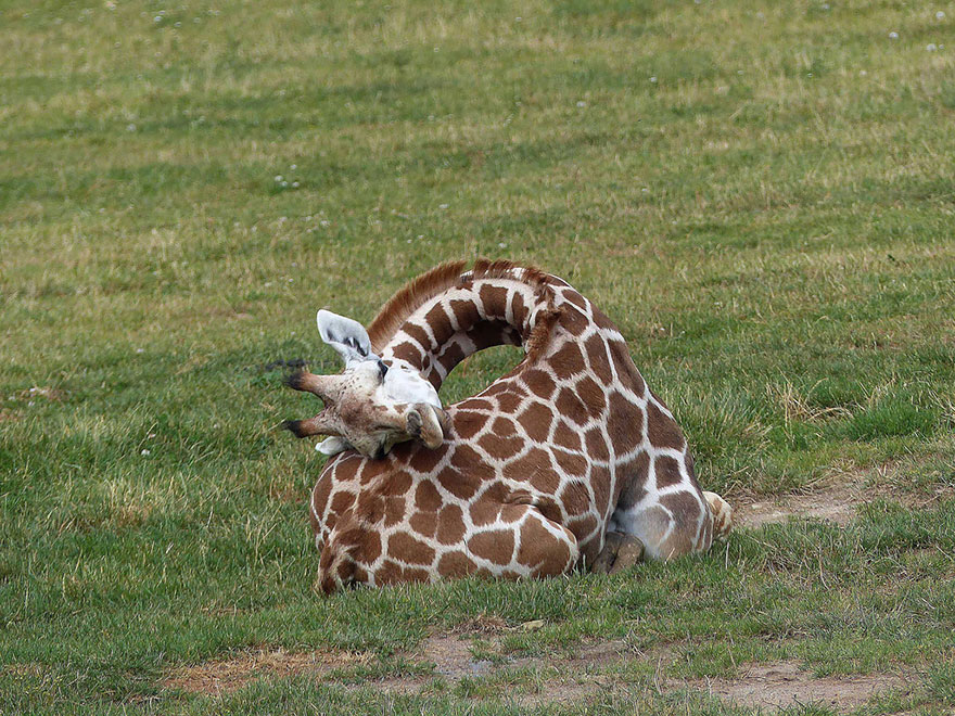 giraffe-che-dormono-07