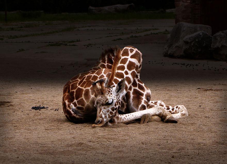 giraffe-che-dormono-09