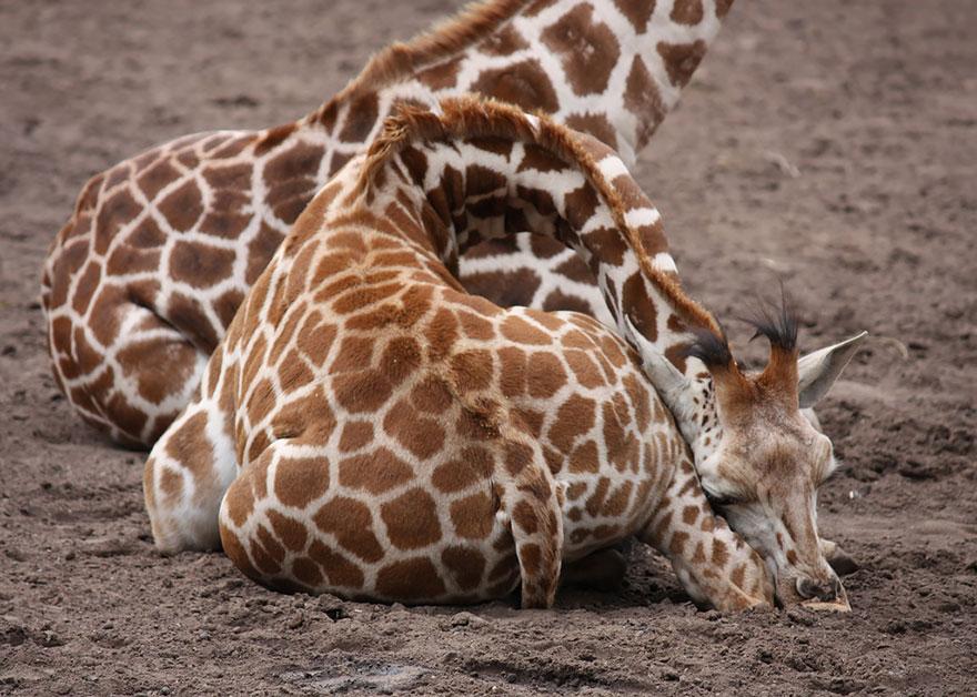 giraffe-che-dormono-11