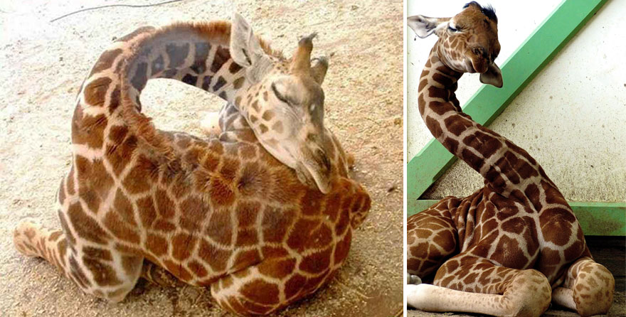 giraffe-che-dormono-12
