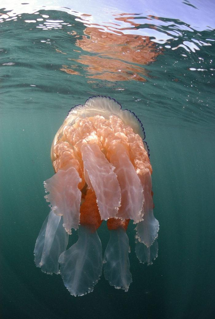meduse-giganti-polmone-di-mare-Rhizostoma-pulmo-gran-bretagna-1