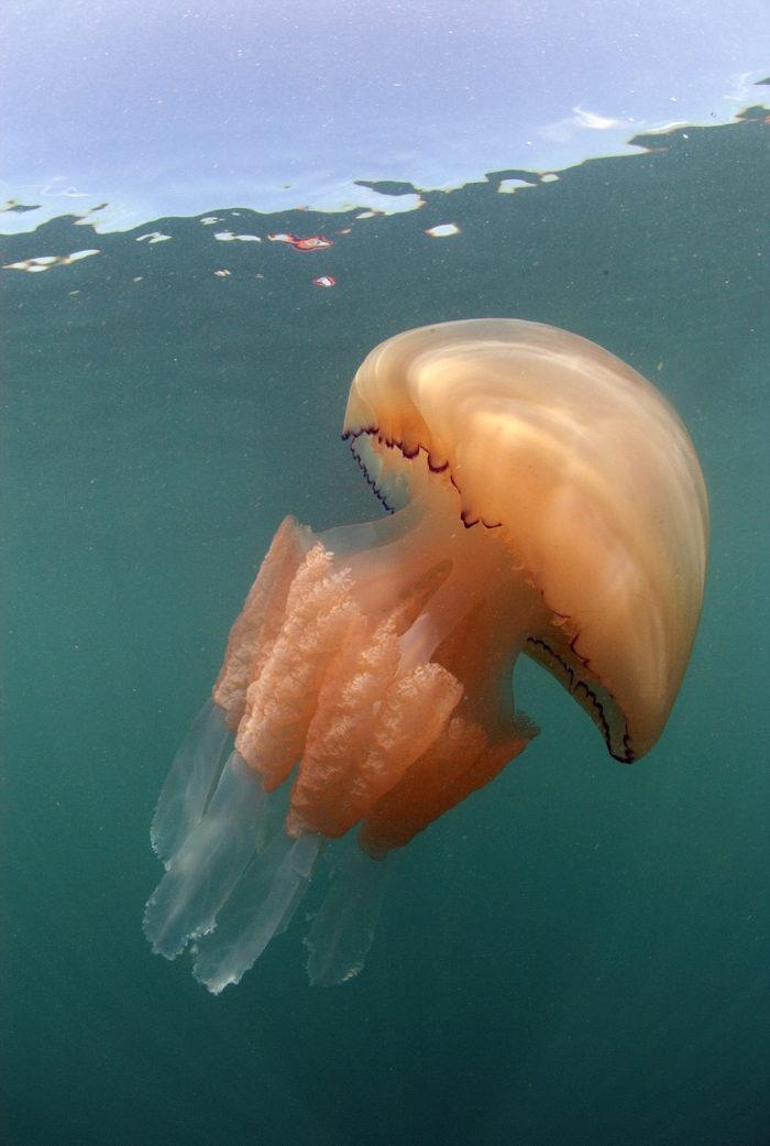 meduse-giganti-polmone-di-mare-Rhizostoma-pulmo-gran-bretagna-2
