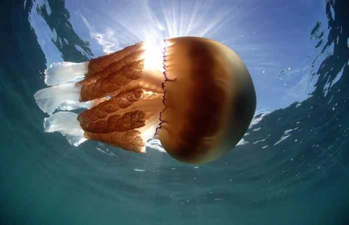 meduse-giganti-polmone-di-mare-Rhizostoma-pulmo-gran-bretagna-3