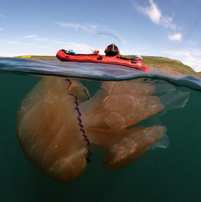 meduse-giganti-polmone-di-mare-Rhizostoma-pulmo-gran-bretagna-4