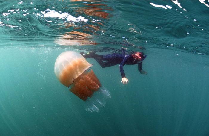 meduse-giganti-polmone-di-mare-Rhizostoma-pulmo-gran-bretagna-5